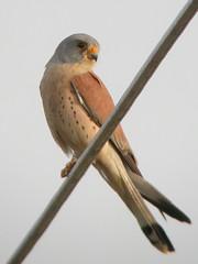 Lesser Kestrel, Mértola - Castro Verde (Portugal), 24-Apr-06