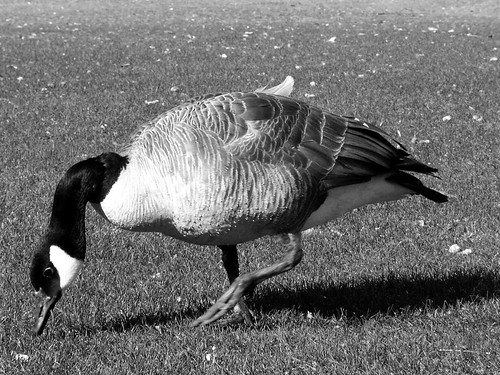 goose eating