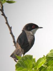 Sardinian Warbler, Castro Marim (Portugal), 27-Apr-06