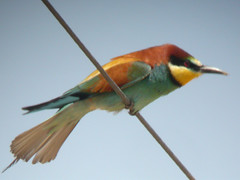 Bee-eater, Ludo Farm (Portugal), 1-May-06