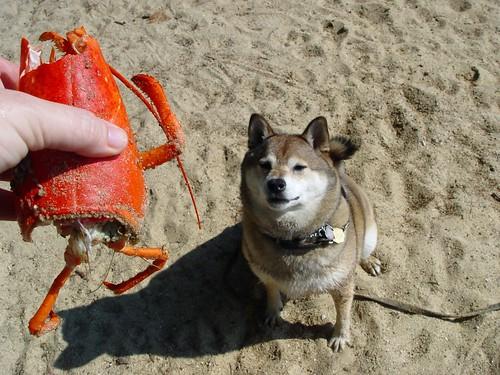 Lobster dream