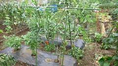 今週の市民農園:ミニトマト