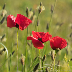 Poppies photo by Sue MacCallum-Stewart