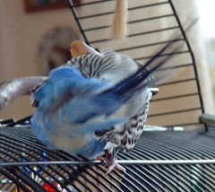 Blue, parakeet, grooming his bum