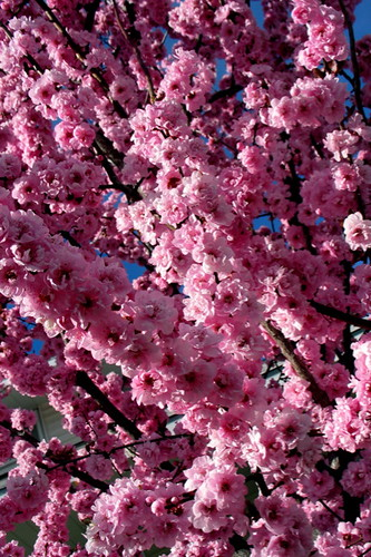 Flowering Plum Explosion II by Terry Bain