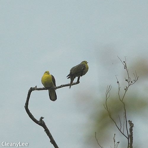0055綠鳩 White-bellied Green Pigeon