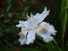 庭のシャガが次々と開花・・・・