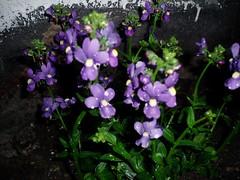 Purple Nemesia