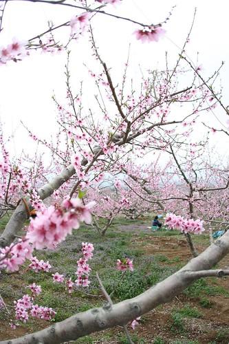 peach flower 02