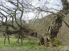 Capon Tree