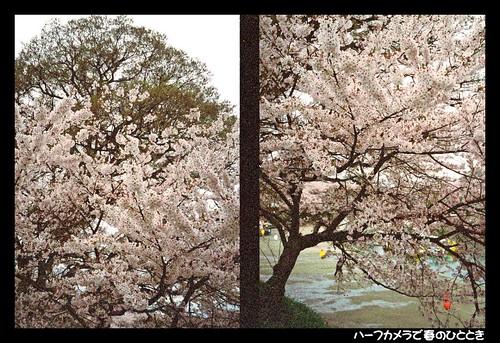 Sakura by Half style 060418 #01