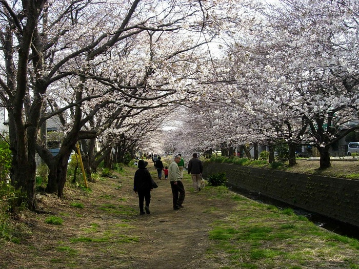 Sakura trees in full bloom.