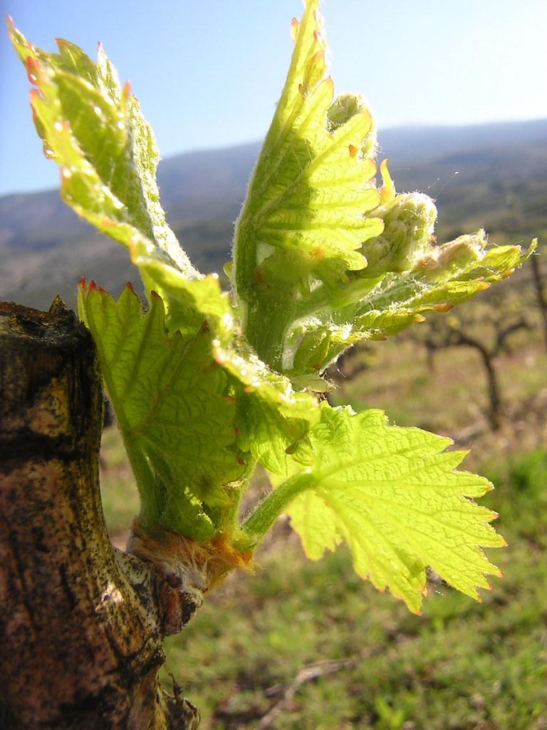 vine shoot2