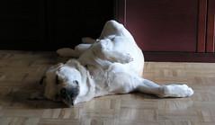 yoga dog, perhaps? but he's asleep.