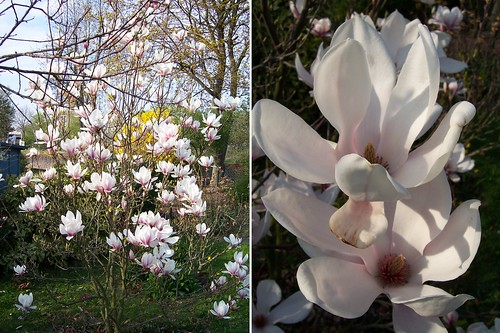 Magnolia Tree and Detail