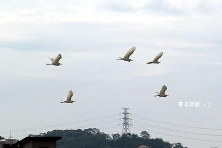 起飛的白鷺鷥