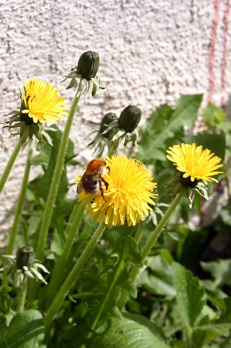 Dandelion with bumble bee