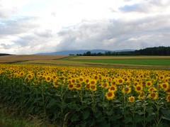 479188_field_of_sunflowers
