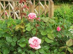 wet-rose-2