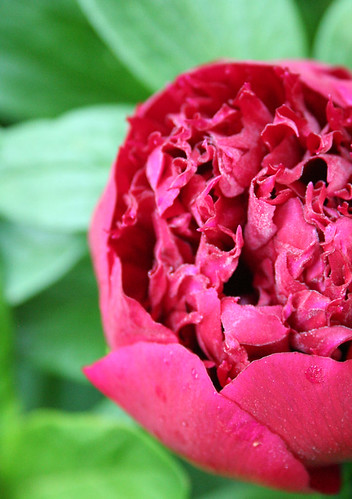 the first dew drenched peony