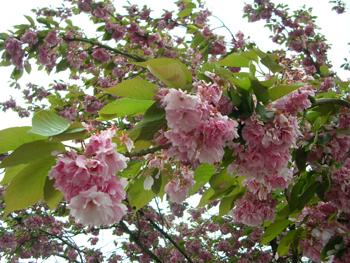 Våren som blommar