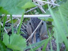 mallard on nest 1
