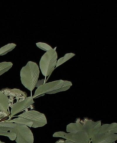 Night leaves 2