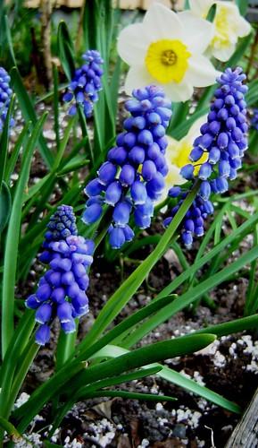 Little hyacinths