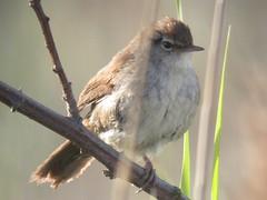 Cetti's Warbler, Barroca d'Alva (Portugal), 19-Apr-06