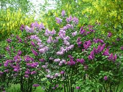 Des lilas