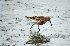 """Pinky"" the Curlew Sandpiper (Calidris ferruginea)"