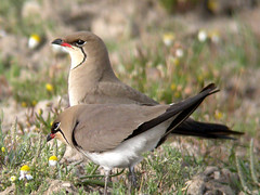 Collared Pratincole, Ponta da Erva (Portugal), 20-Apr-06