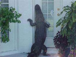 Gator Ringing Doorbell