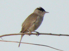 Blackcap, Elvas (Portugal), 24-Apr-06
