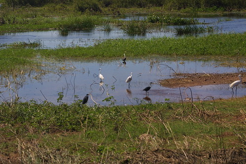 Egrets at Foog Dam