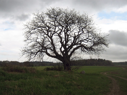 That Old Tree (May 20th)
