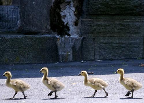 Make Way for Goslings