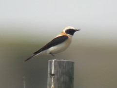 Black-eared Wheatear, Mértola - Castro Verde (Portugal), 25-Apr-06