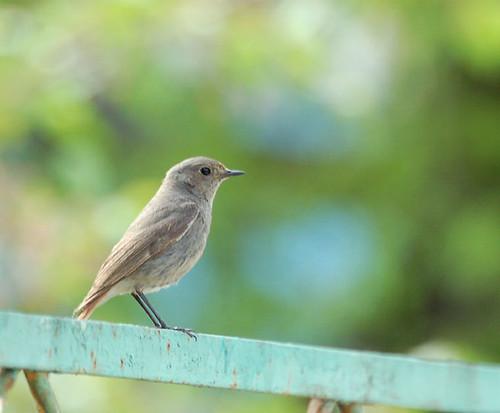 Соловей / Nightingale