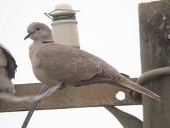 Collared Dove, Ponta da Areia (Portugal), 26-Apr-06
