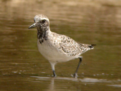 Grey Plover, Castro Marim (Portugal), 26-Apr-06