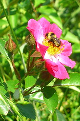 Bright pink wild flowers with a bee
