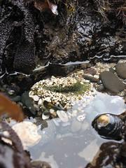 Anenome in tide pool