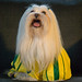 we are all football (soccer) nuts! meet my babe, the lhasa apso...
