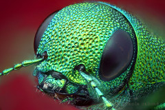 Kisanthobia ariasi - green oak jewel beetle (focus stacked portrait) photo by Nikola Rahme