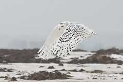 _MG_0079-Edit Snowy Owl photo by ~ Michaela Sagatova ~