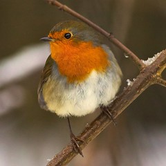 robin  (EXPLORED) photo by blackfox wildlife and nature imaging