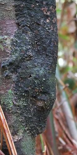 Leaf-tailed gecko (Uroplatus sp.), Montagne d'Ambre