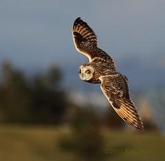 Short-eared Owl - In Flight photo by Eric_Z
