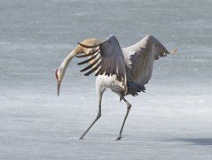 Sandhill Crane Landing on Ice photo by arlenekoziol
